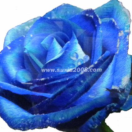 苏绣蓝色妖姬